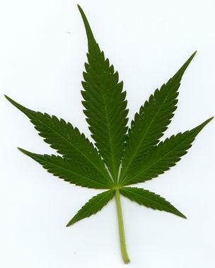 Indica_leaf.jpg