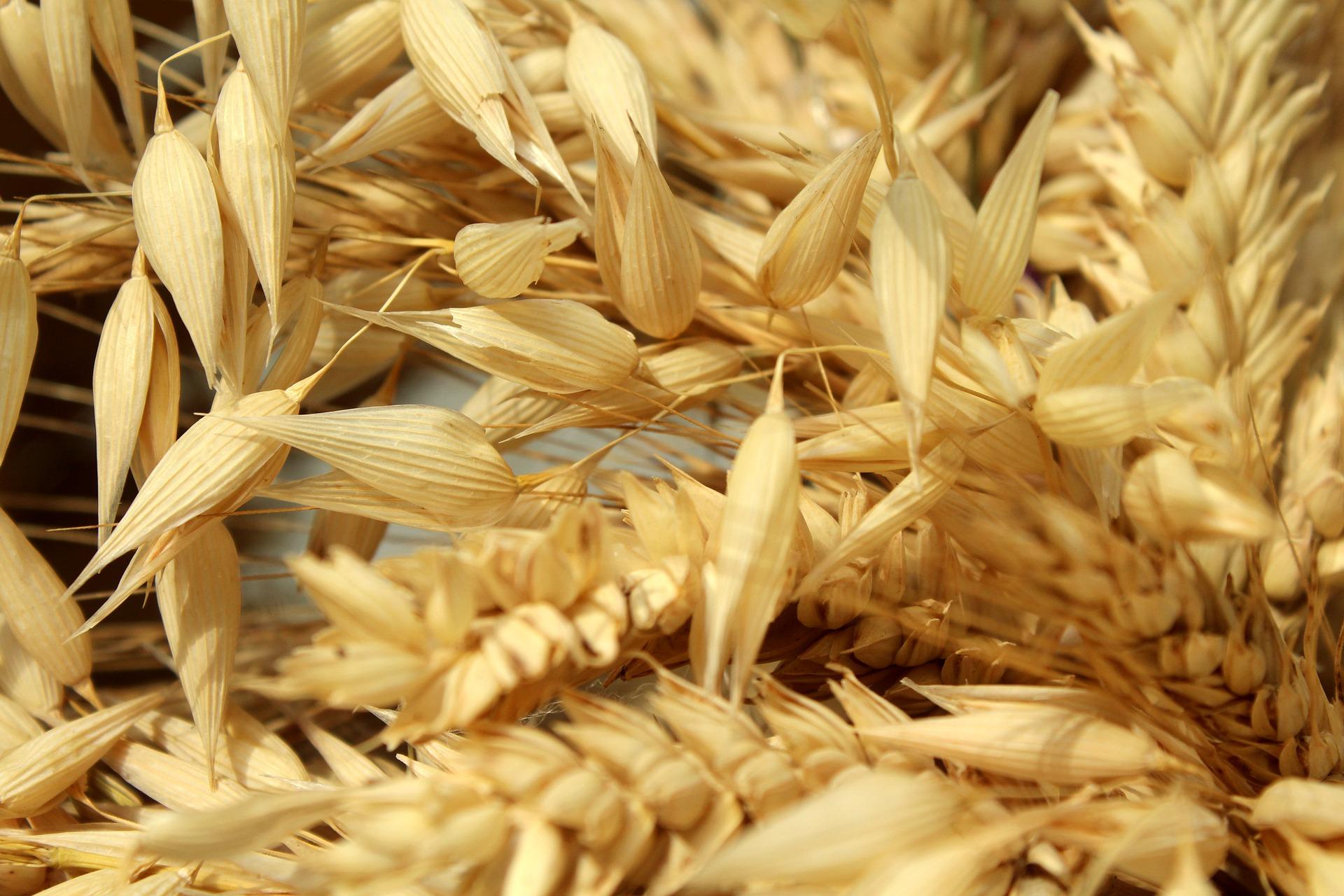corn-4458568_1920 - Image by _Alicja_ fr