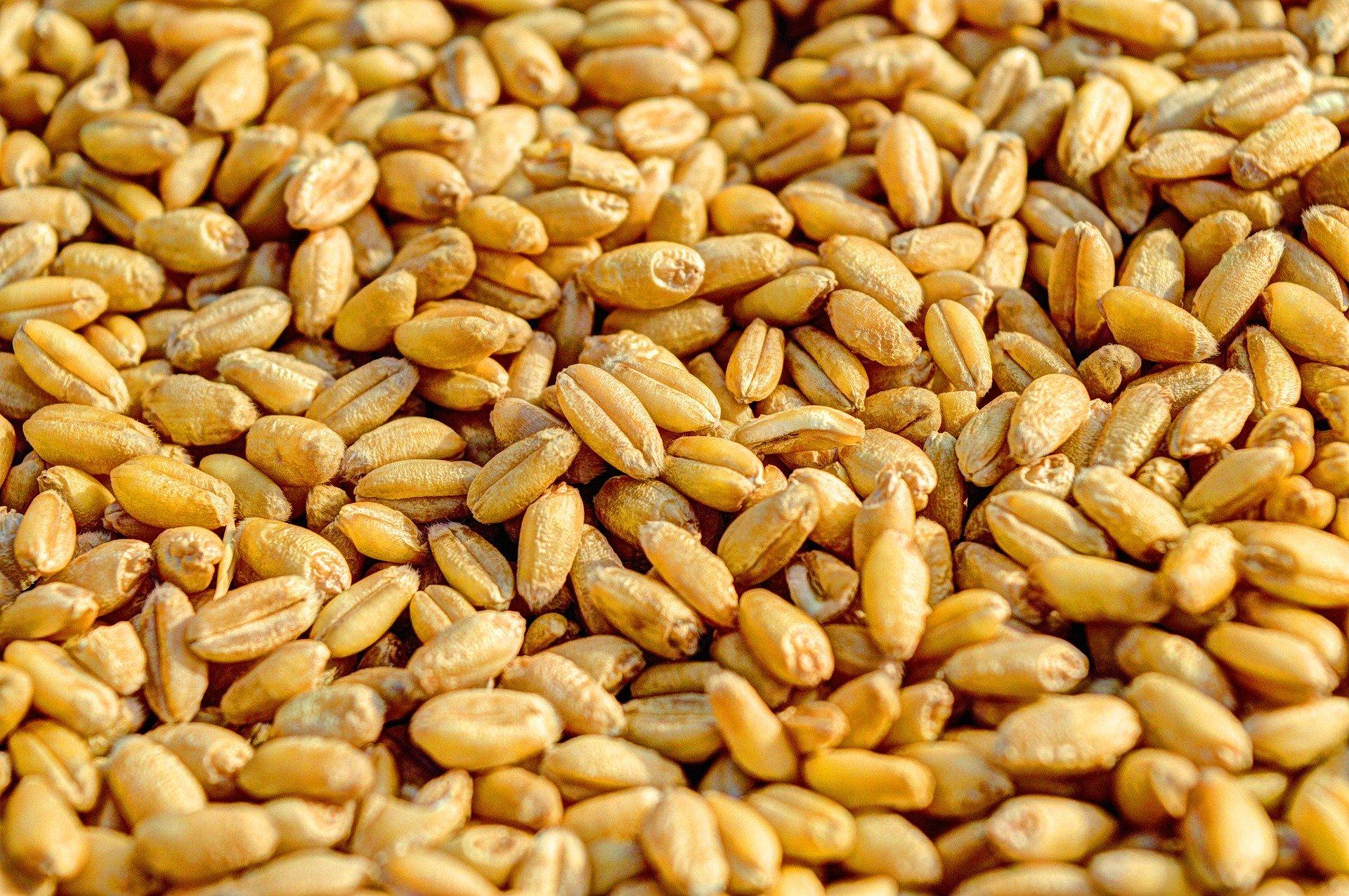 wheat-381848_1920- Image by $uraj tripat
