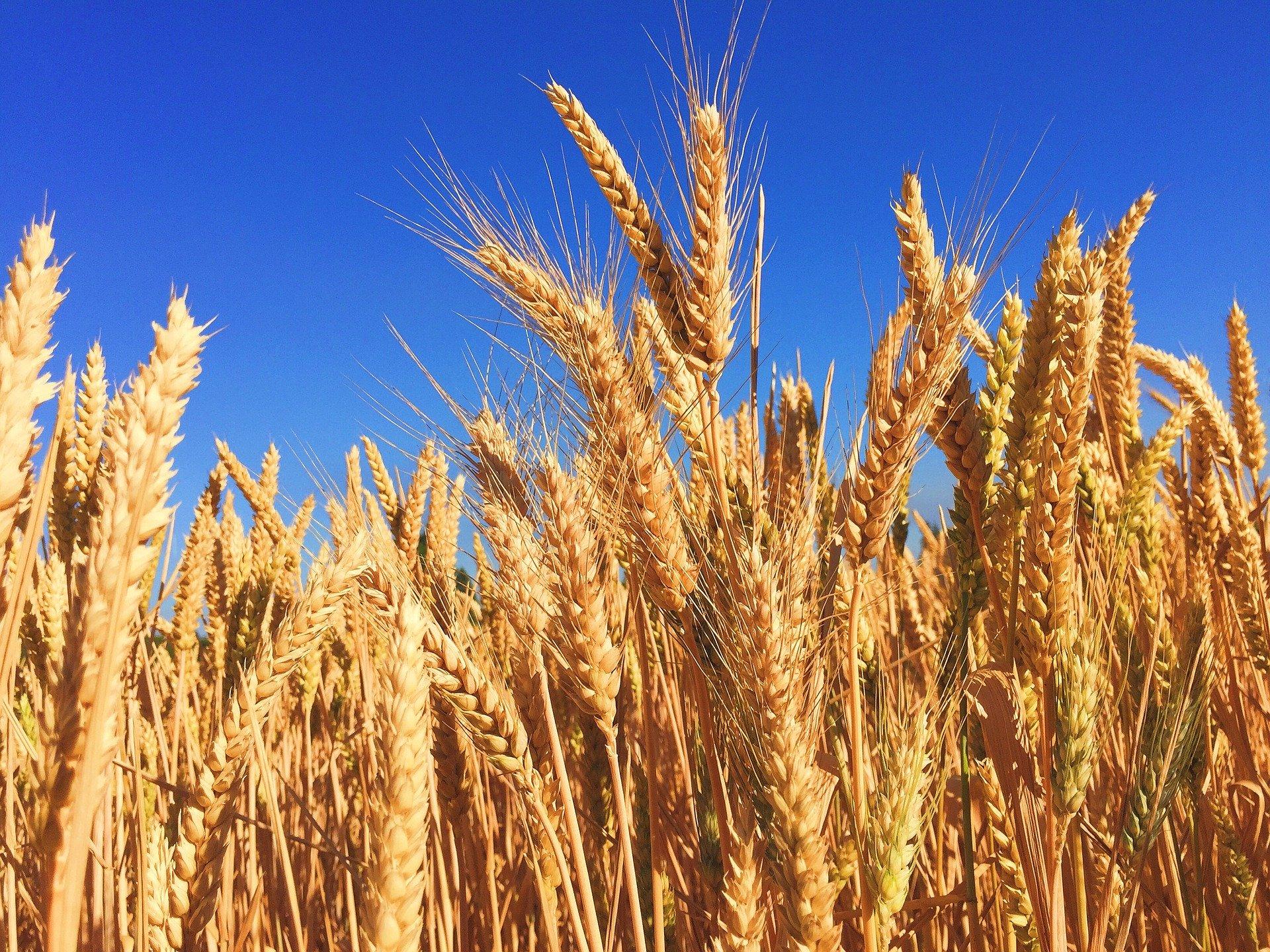 wheat-863392_1920- Image byFree-Photos