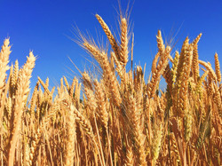 wheat-863392_1920- Image by Free-Photos