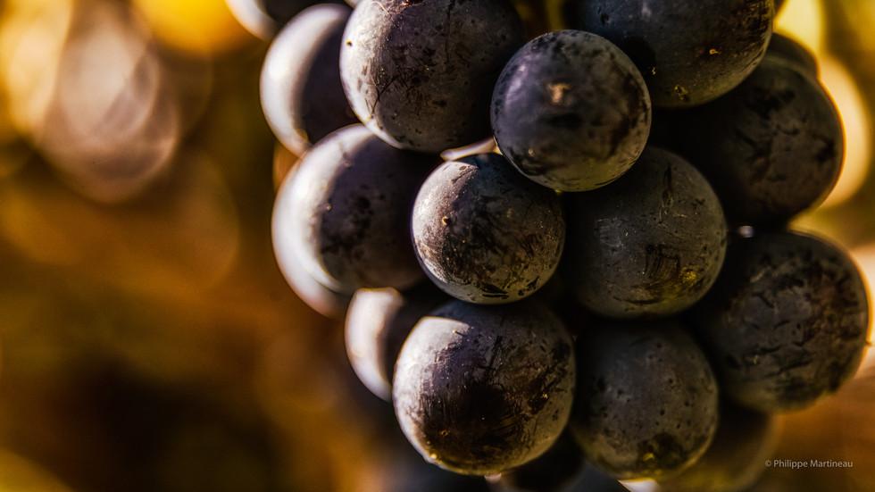 Pinot_Noir-Florent-27- Version Ecran.jpg