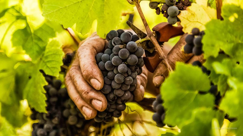 Vignes_bio_-_Pinot_Noir-8- Version Ecran