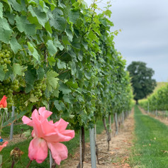 Deer Park Wines Vineyard