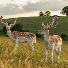 Fallow stags at Deer Park Hall