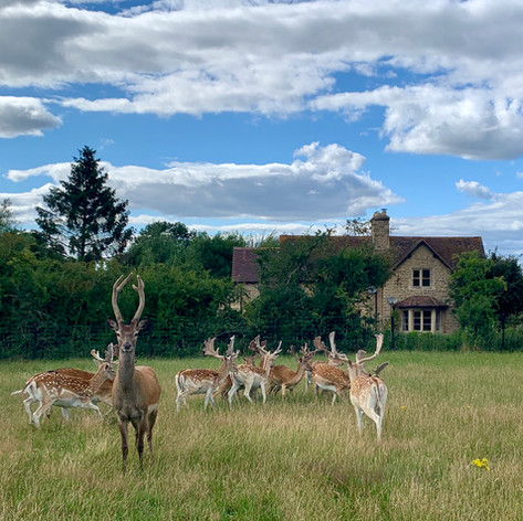 Deer infront of Hollowcombe Cottage
