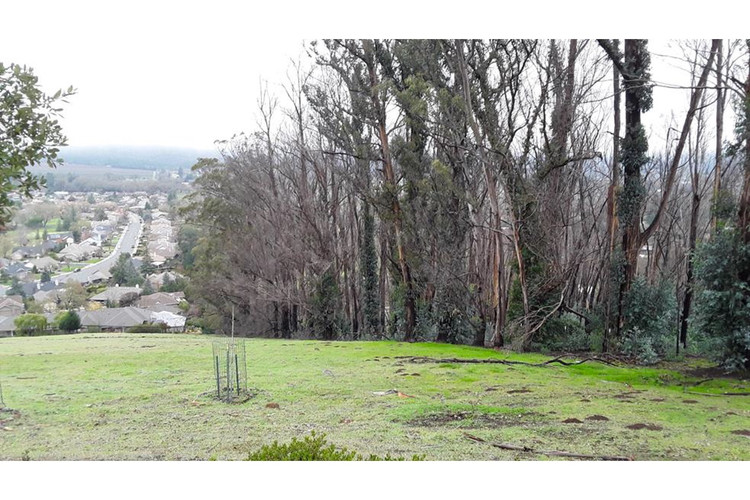 Burned eucalyptus trees at Trione-Annadel State Park before thinning