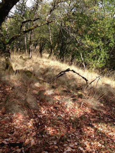 Native grasses at Mitsui Ranch benefit from controlled burns