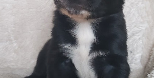 CKC Australian Shepherd Black Bi Female #5 (Green Eyes)