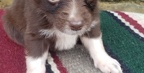 CKC Australian Shepherd Red Bi Male #4 (Green Eyes)