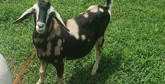 Spotted Nubian Polled Buck Goat