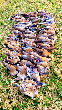 a good dove hunt.jpg