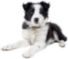 Image: Black and white shephard puppy in front of a laptop open to the Google homepage