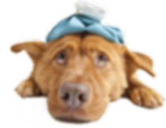 Image: Sick brown dog with an ice pack on its head