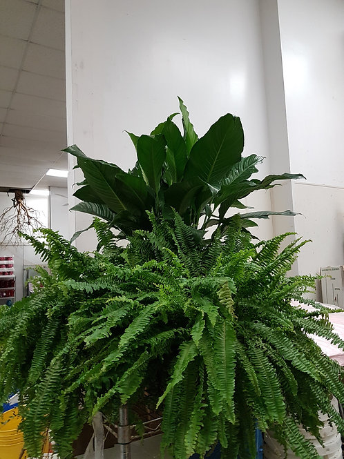 Peace lily and fern plants