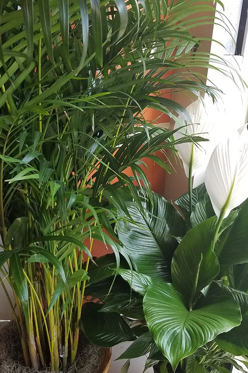 Mixed plants palm and peace lily