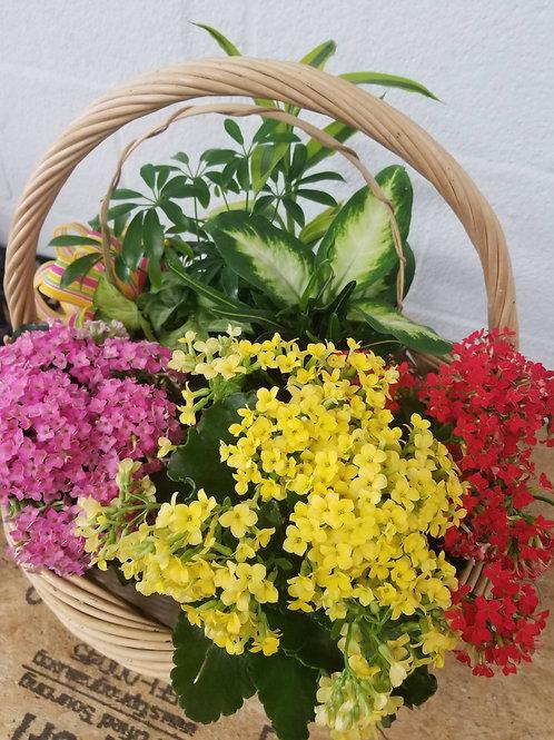 mixed blooming kalanchoe