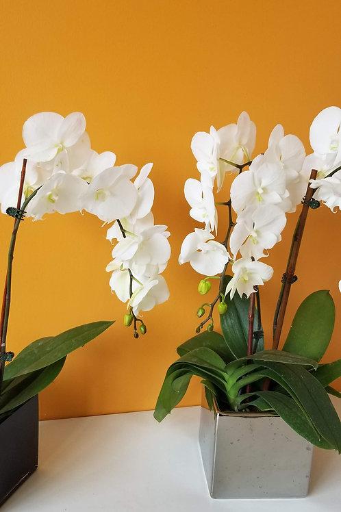 Double  white  orchid plant