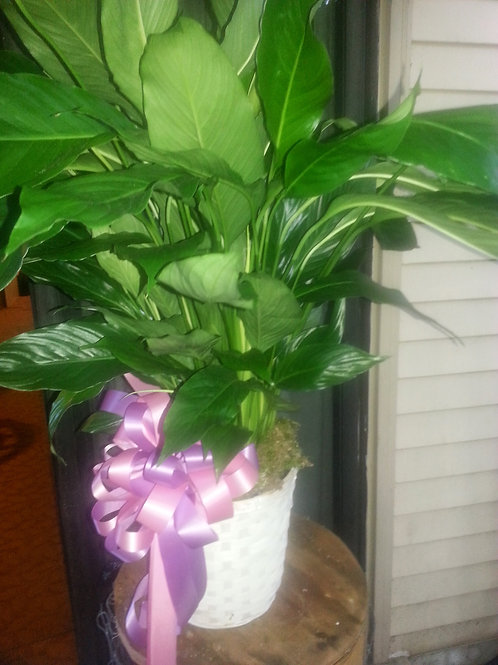 peace lily in white basket