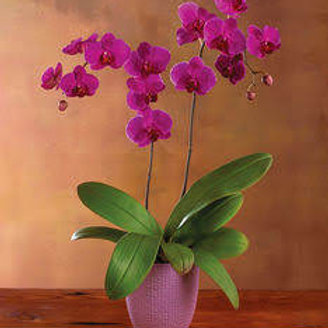 Purple phal orchid