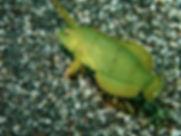 伊豆でダイビング😊6/20(水)ちびカスザメに会いました!
