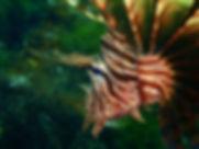 伊豆でダイビング😊6/29(月)ハナミノカサゴが綺麗です✨