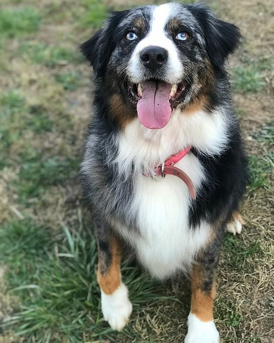 Happy girl! #australianshepherd #dogsofinstagram #aussiedoodle #bluemerle_edited.jpg