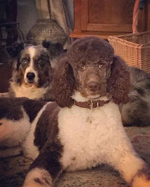 Oakley and Louie. #partipoodle #poodle #