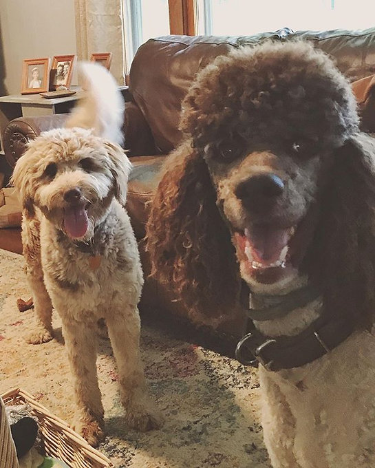 😆 Lucy and Louie💕 #aussiedoodle #redme