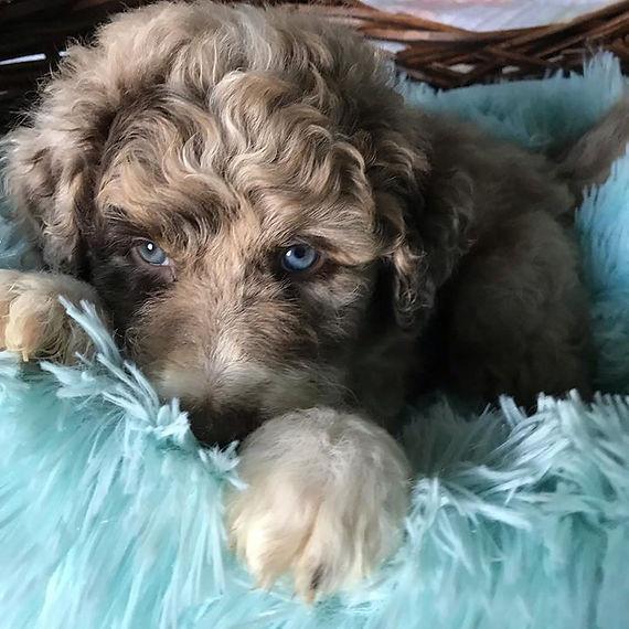 #puppies #puppiesforsale #aussiedoodlepu