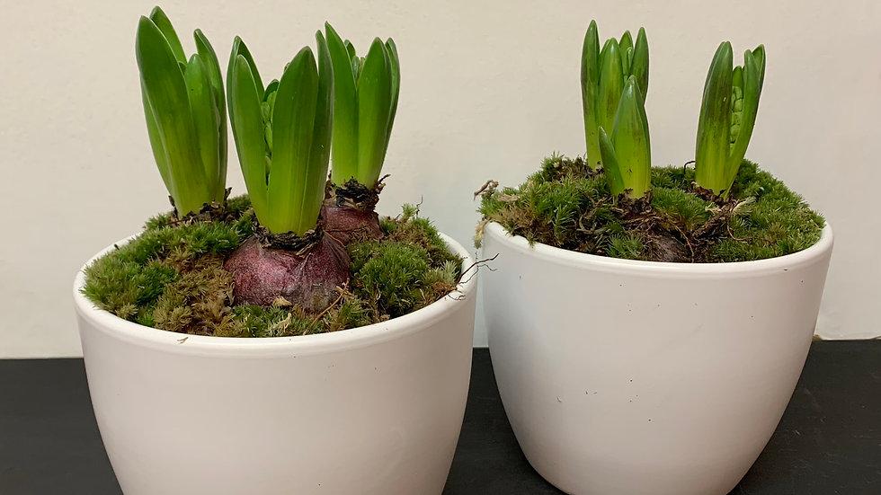 Ceramic Hyacinth Pot