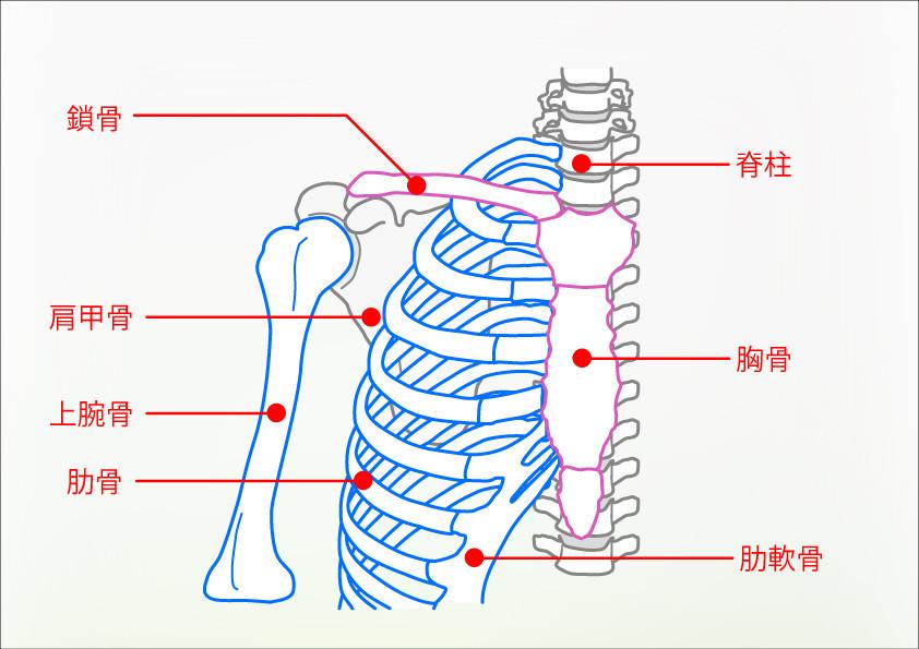 肩や胸郭周辺の骨の名称
