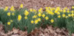 HyacinthFarm.Daffodils.jpg
