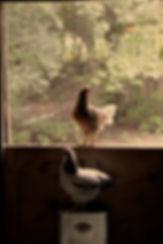 2018_Hyacinth Farms Window Chickens (1).