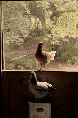2018_Hyacinth Farms Window Chickens (1).