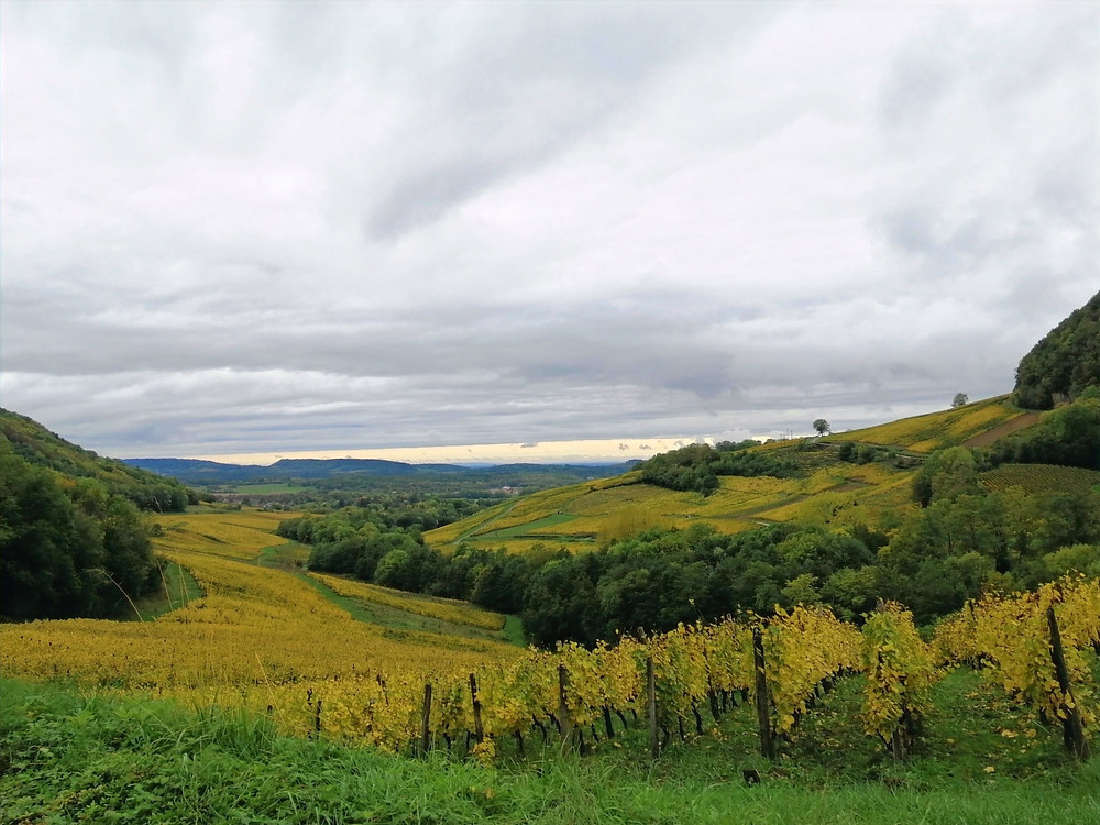 Savagnin grown near Château-Châlon, Jura