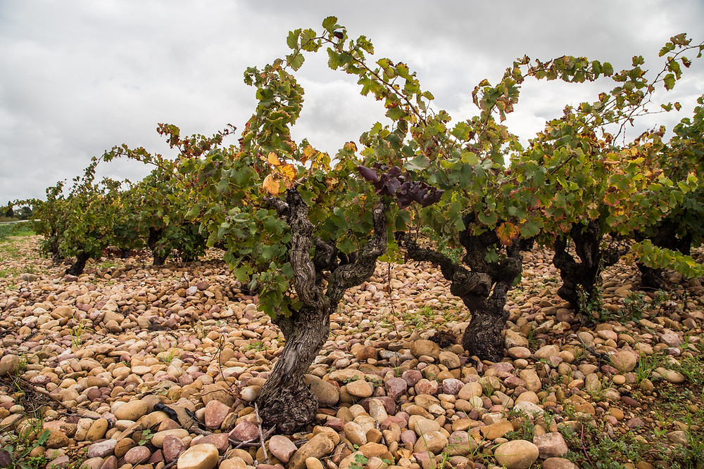 Old Vine Grenache on Galets Roulés in Chateauneuf-du-Pape