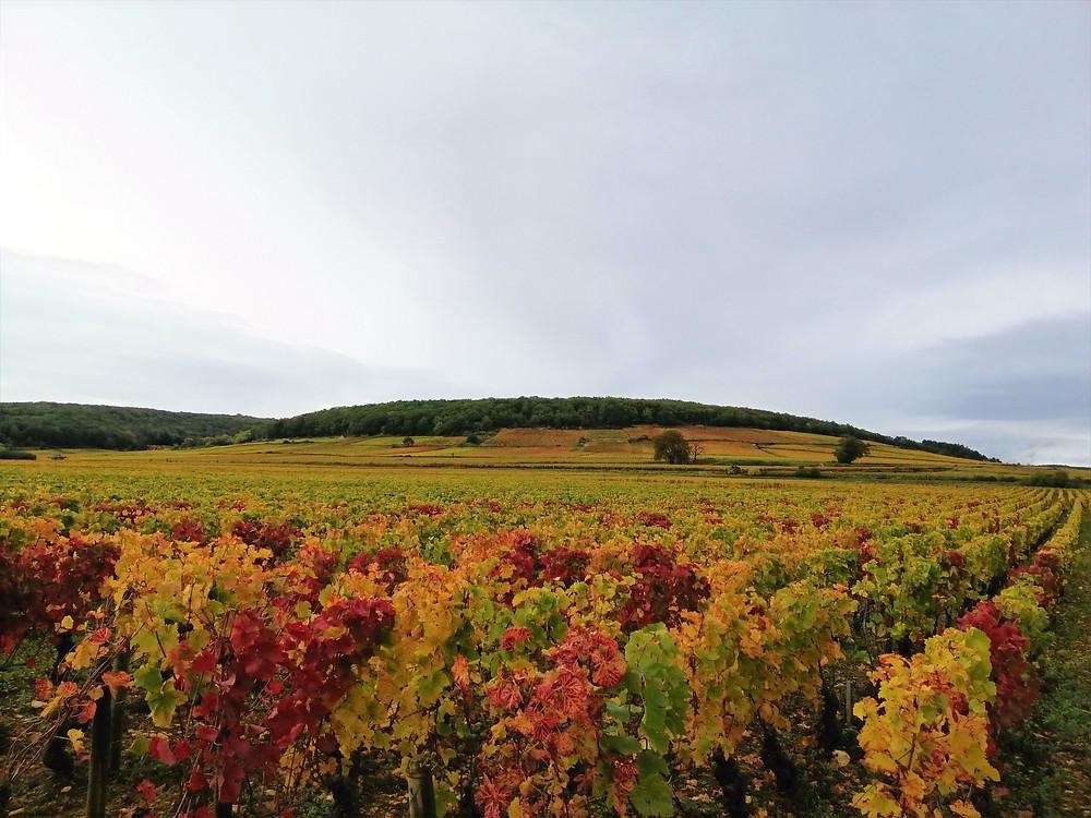 "La Côte d'Or, translating in 'the Golden Slope"" du to its color in autumn"