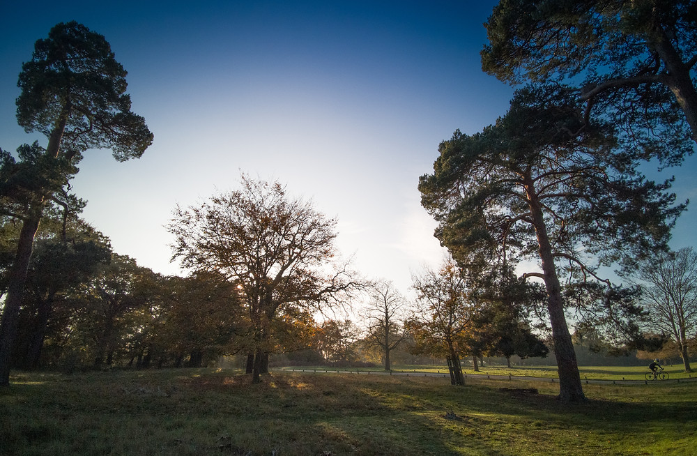 Richmond Park, Larch and Oak Trees