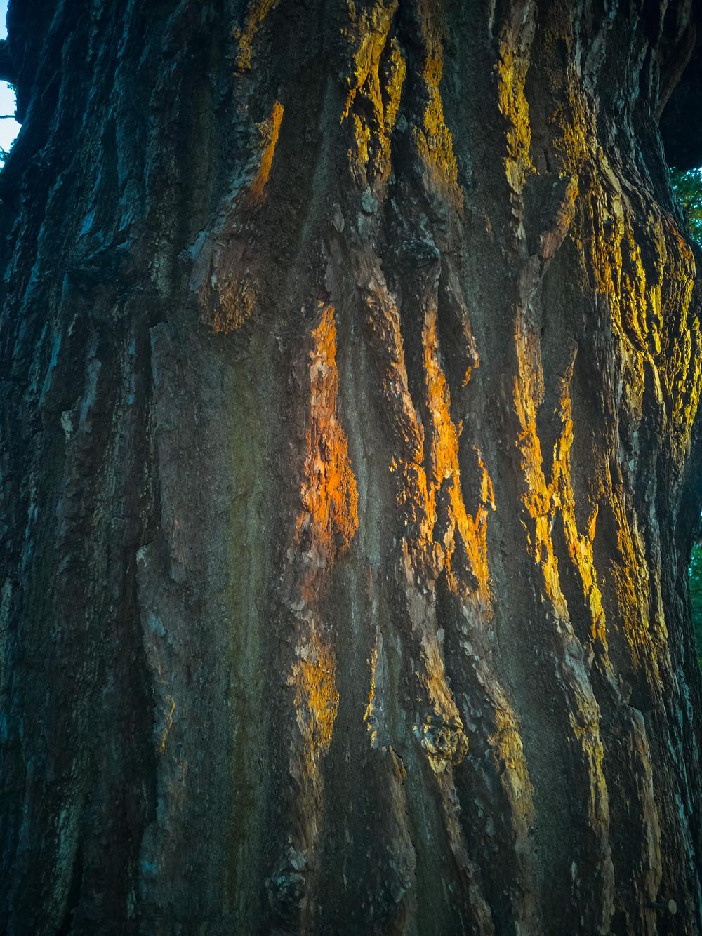 Knarly Oak