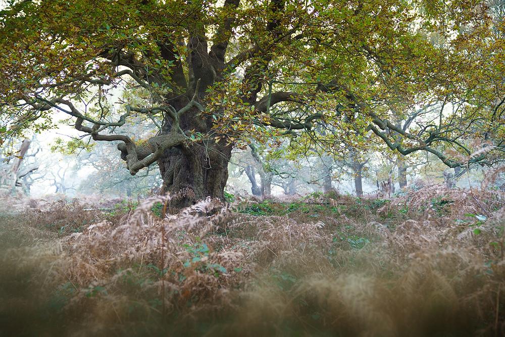 Ancient Richmond Oak near the Isabella