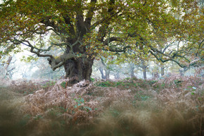 Ancient Richmond Oak