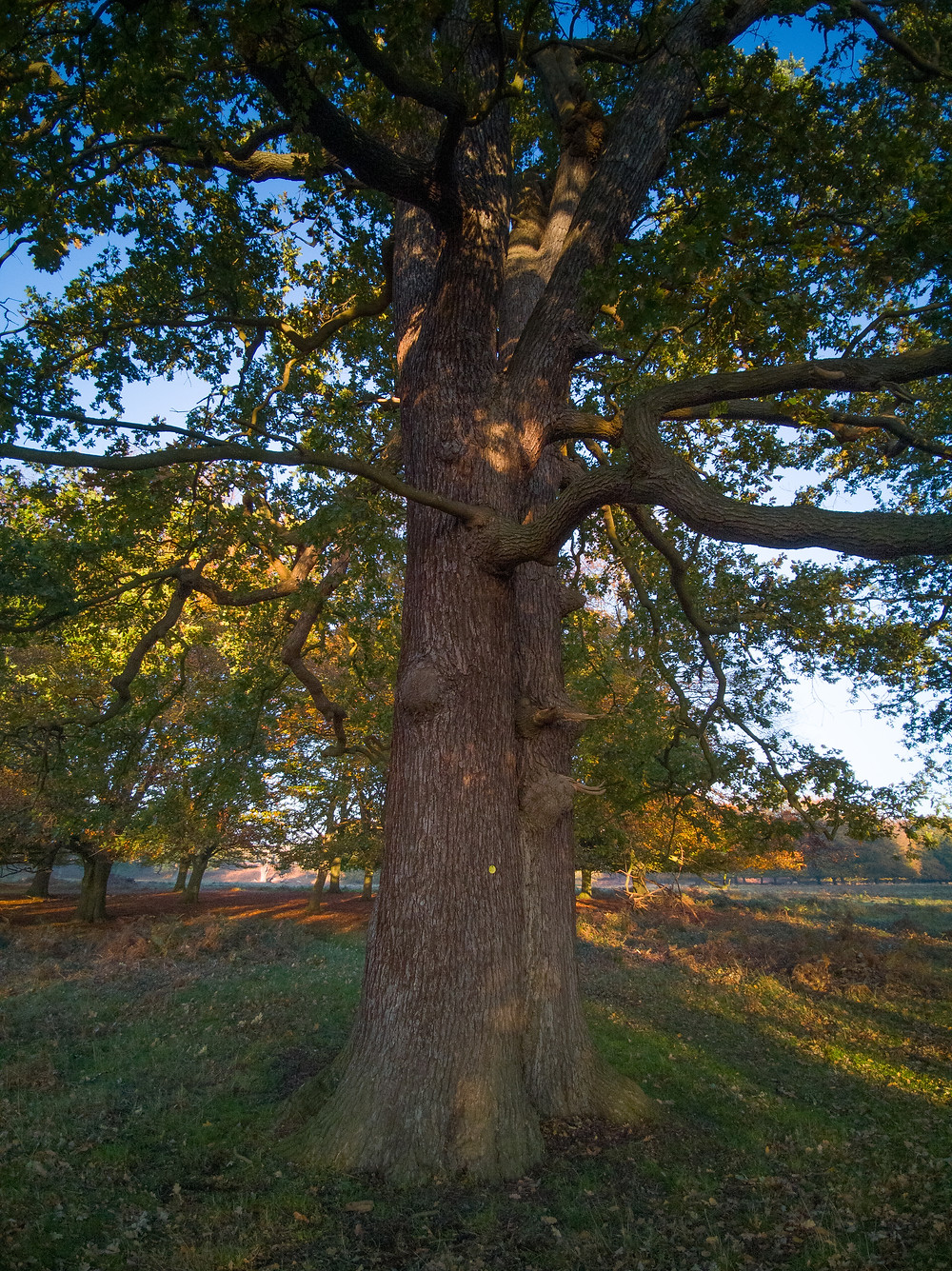 Richmond Park - Oak on the hill towards Ham