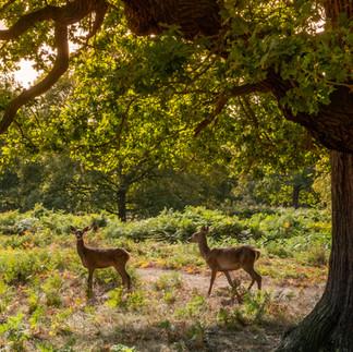 Young Deer under Oak