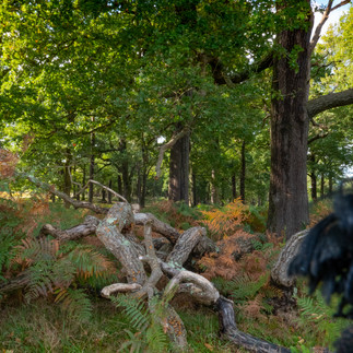 Deadwood - Richmond Park