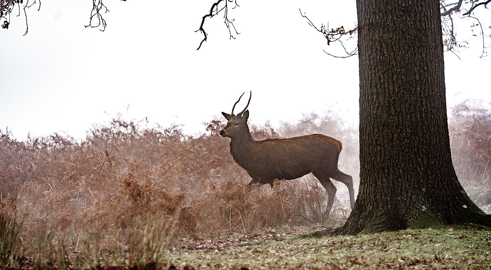 A young pretender emerges from the mist - Richmond Park