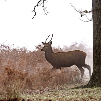 Deer at Pen ponds