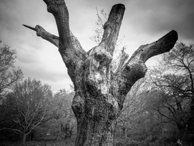 Talon Oak - Richmond Park