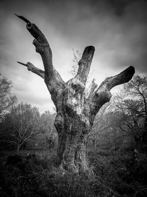 Talon Oak - Richmond Park
