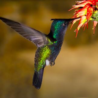 Hummingbird - Feeding